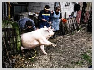 cattura maiale